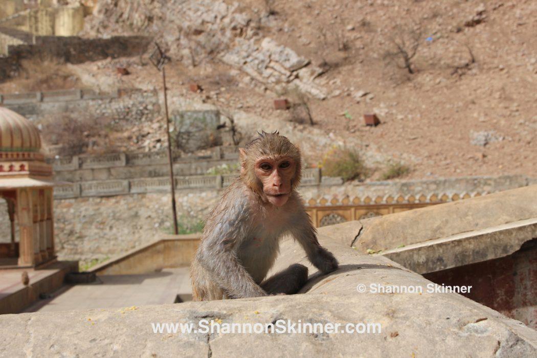 Monkey Temple, Jaipur, Rajasthan, India